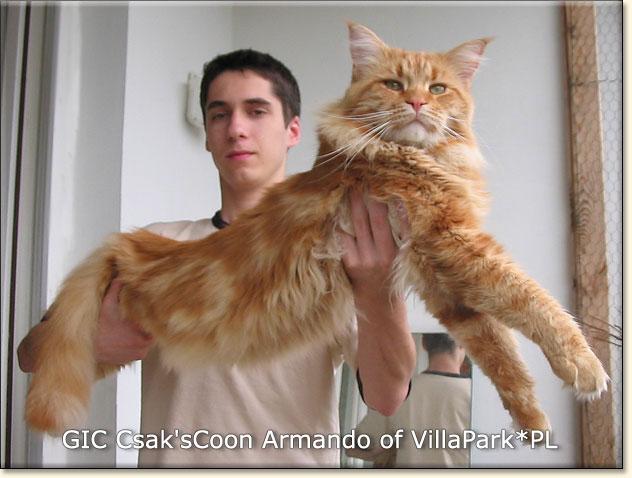 maine coon cats Villa Park*PL